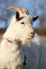 Portrait of goat with horns
