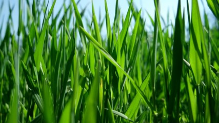 Detail of moving blades of grass