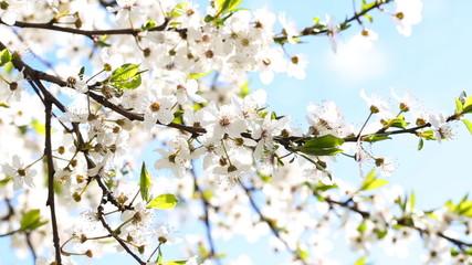 Flowers blooming mirabelle