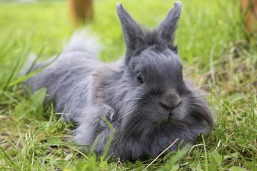 fluffy gray rabbit on the grass