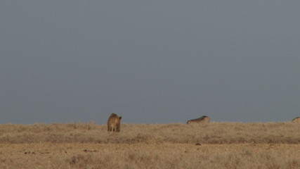A lioness stalking warthogs
