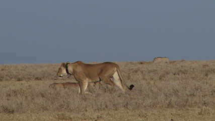 A lion with a radio color start to hunt warthogs