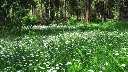 spring forest and field of flowers