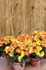 orange chrysanthemen in töpfen
