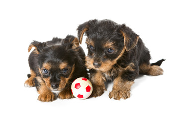 Puppies and the ball