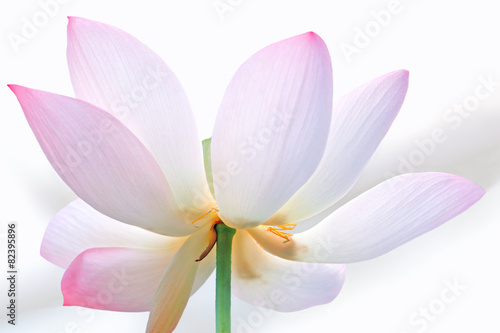 Foto op Canvas Lotusbloem Pale pink lotus