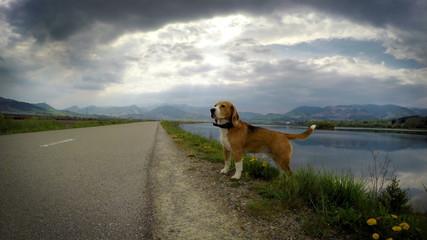 4K Video Beagle dog smells wind camera traveling effect