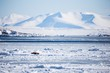 Arctic landscape with walrus on the frozen fjord