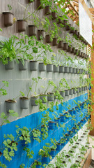 Parsley in pots on a wall
