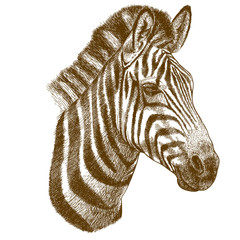 engraving vector illustration of zebra head