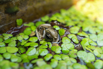 Close up Toad in a pond