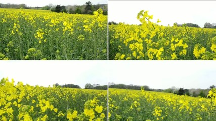 montage - field with yellow crop