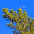 Постер, плакат: Сосна обыкновенная Pinus sylvestris