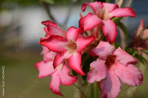 Foto op Plexiglas Azalea azalea flowers pink