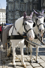 The white horses with fiaker by cathedral in Vienna, Austria