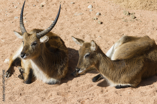 Foto op Aluminium Antilope antelope in the forest
