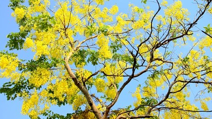 Wind with Cassia fistula known as the golden shower tree