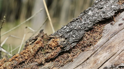 Closeup of group of ants working and walking on old tree