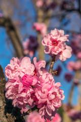 Beautiful cherry blossom in Spring season.