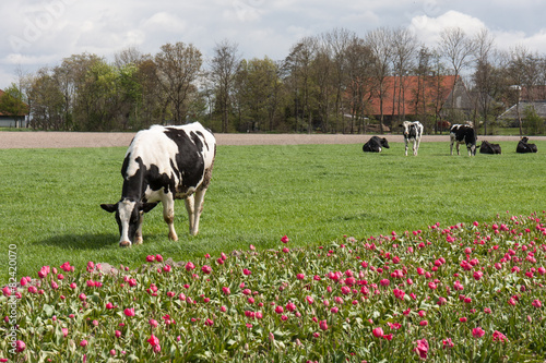 In de dag Koe Grazing cows near a Dutch tulip field
