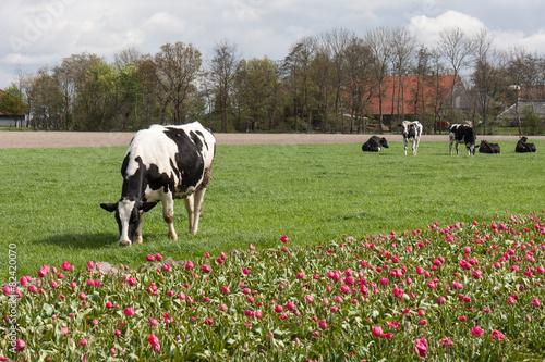 Foto Spatwand Koe Grazing cows near a Dutch tulip field
