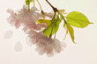 Branch of blooming cherry tree