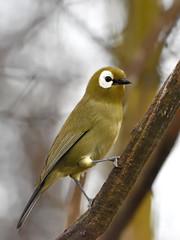 Kikuyu white-eye (Zosterops kikuyuensis)