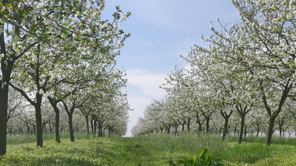 Agriculture, blossoming cherry fruit trees orchard in spring