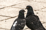 Two rock feral pigeon doves together on pavement background poster
