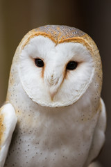 Portrait of a British Barn Owl