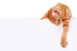 Leinwanddruck Bild - Cat Banner Sign
