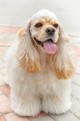 Cute smiling dog breed American Cocker Spaniel