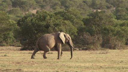 A lame elephant drags his leg as he walks across the camera