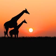 Silhouettes of giraffes against the sunrise