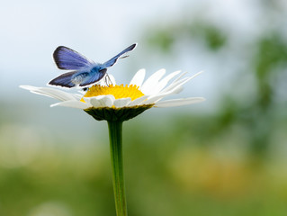 Blue butterfly sitting on a camomile