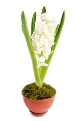 Beautiful white hyacinth on a white background