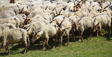 Sheep are graze