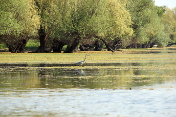 grey heron in the swamp nature wildlife