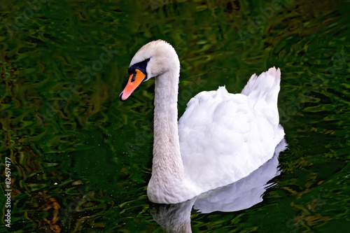 Foto op Canvas Zwaan Swan white in the pond