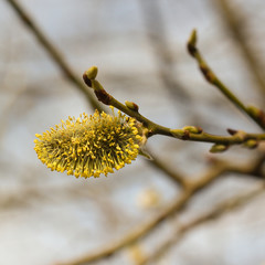 Willow branches in spring with a blossoming bud