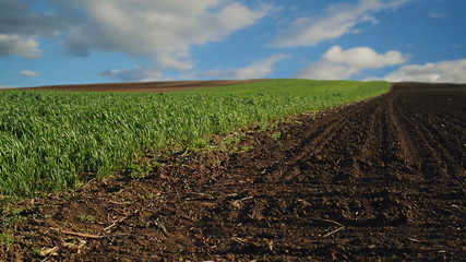 Green Wheat Sprouts Field and Arable Land timelapse