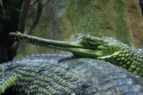 Tuinposter Krokodil Gavial