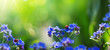 art spring or summer background with forget-me-not flower