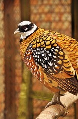 Royal pheasant in the cell. Long-tailed striped or pheasant. Roy