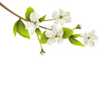 Cherry branch with white flowers isolated on white background - 82467267