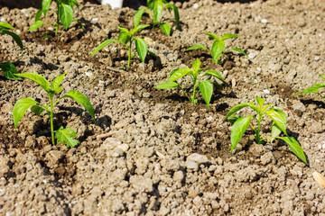 Peperonipflanze wächst