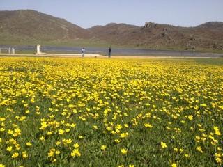 sarı kır çiçekleri