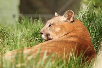 beautiful cougar at the zoo
