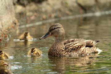 female mallard duck with offspring