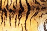 textured real tiger pelt poster
